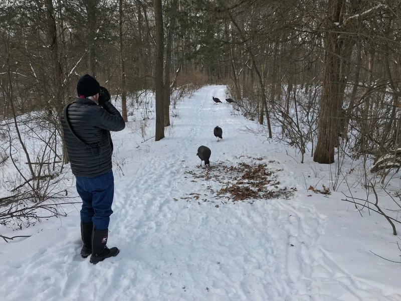 Some wild turkeys approach without fear on the Wildwing Trail