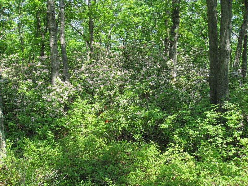 Wild laurel in bloom.