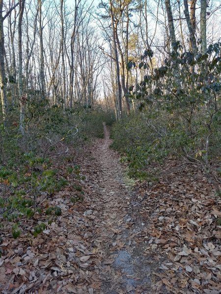 Narrow singletrack through the dense mountain laurel.