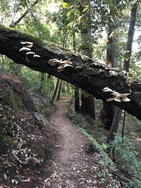 Duck under a blowdown covered in beautiful shelf fungi