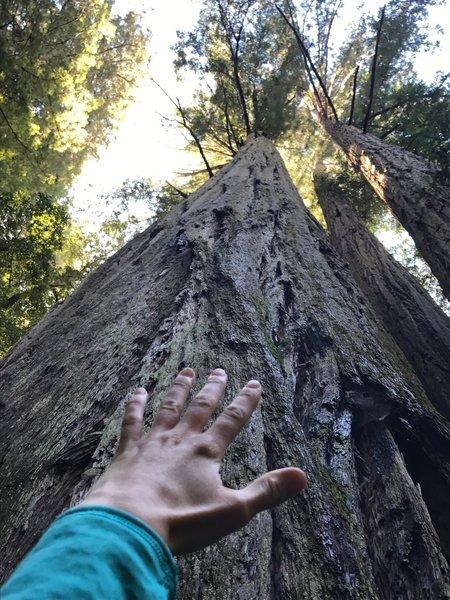 Tall Redwoods