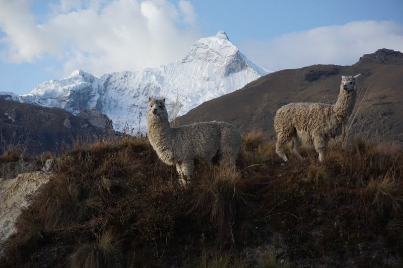 Huandoy 6395m and Alpacas Nacho Libre and Bianca