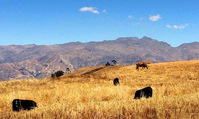 Cordillera Negra framing cattle in the rural area of Atma