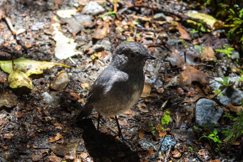 South Island Bush Robin - a very curious insect eater