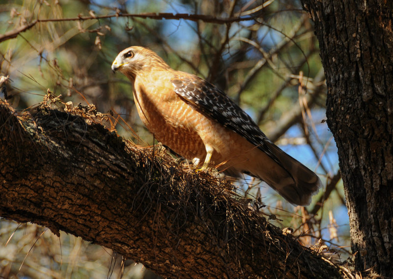 A Red Shouldered Hawk we watched enjoy a mouse
