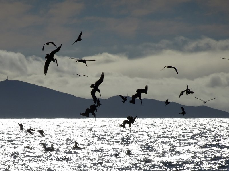 Pelican feeding frenzy near Tijuana River mouth.