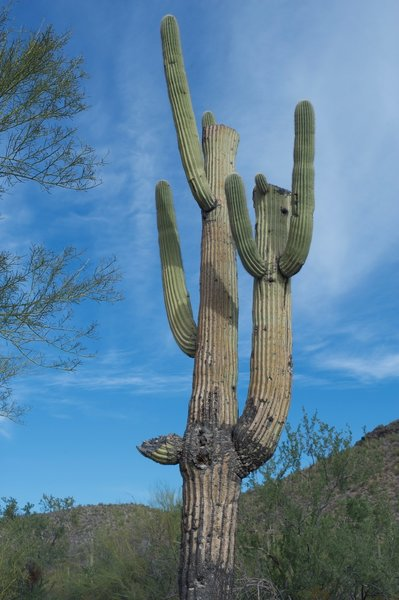 Saguaro cacti grow along the trail, towering above you.