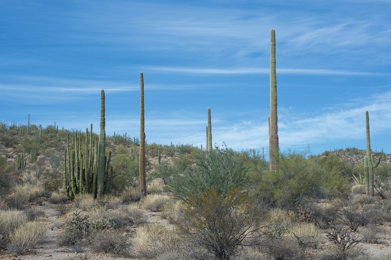 Organ pipe and Saguaro cacti line the hillsides.