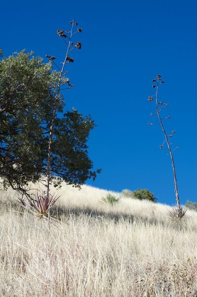 Agave plants sit on the hillside above the trail.
