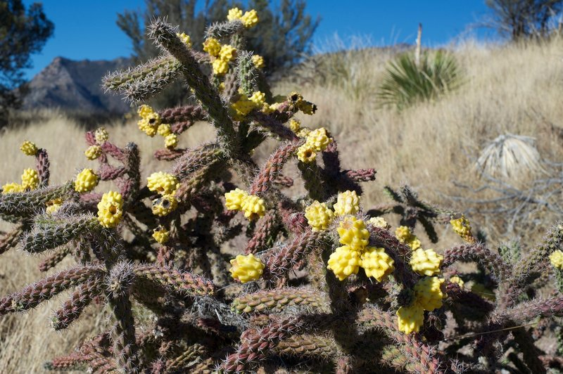 Cholla flower along the trail.