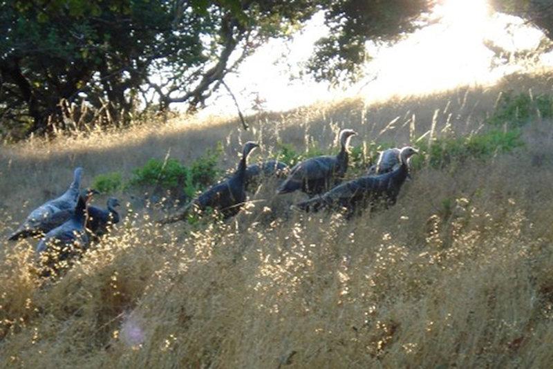 Turkeys along the Shoreline Trail