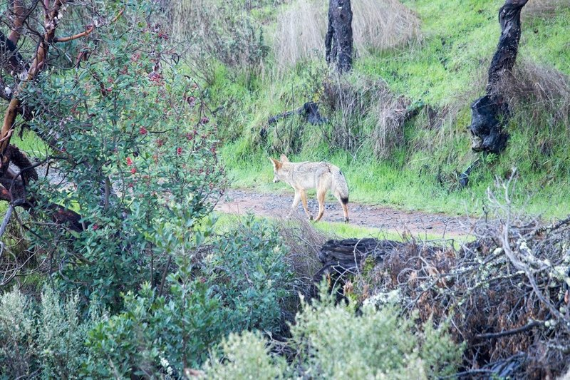 Coyote cruising on the Shoreline Trail