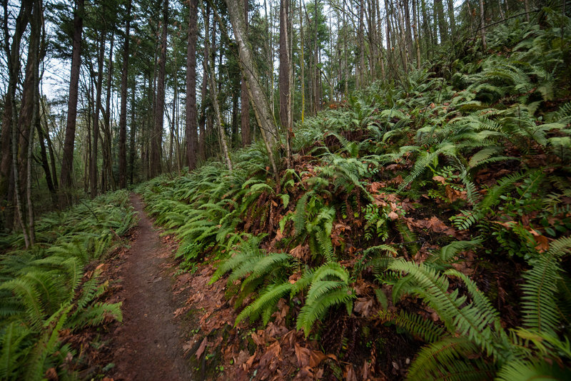 Get ready for lots of ferns along the Miller Hall Trail.