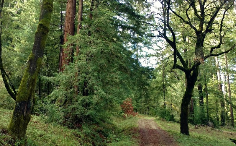 Redwoods, oaks, firs and other lush vegetation along Amaya Creek Road