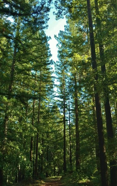 Amaya Creek Road goes through a beautiful, sunlit forest of tall trees - redwoods, firs, and oaks.