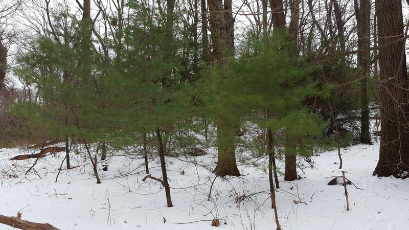 Young Pine Trees