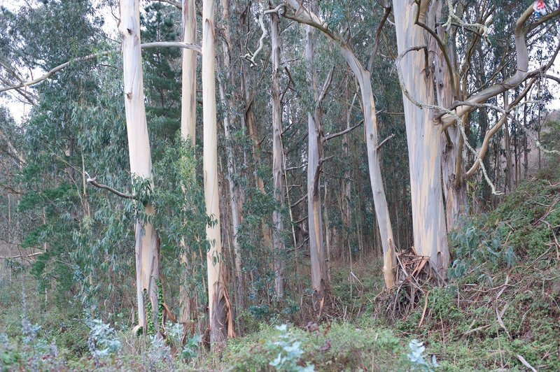 As you depart the parking lot, there is a large grove of eucalyptus trees on the right hand side of the trail.