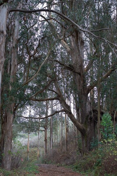 The trail moves in and out of eucalyptus groves as it makes its way up the valley.