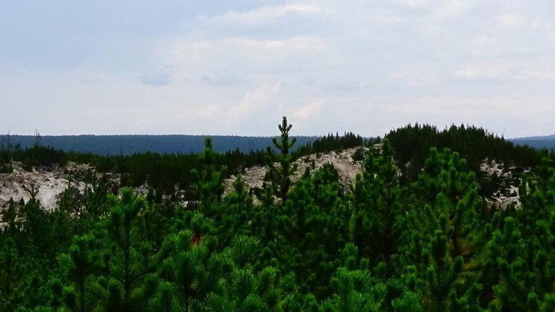 The Lodgepole Pine Trees in Norris Geyser Basin