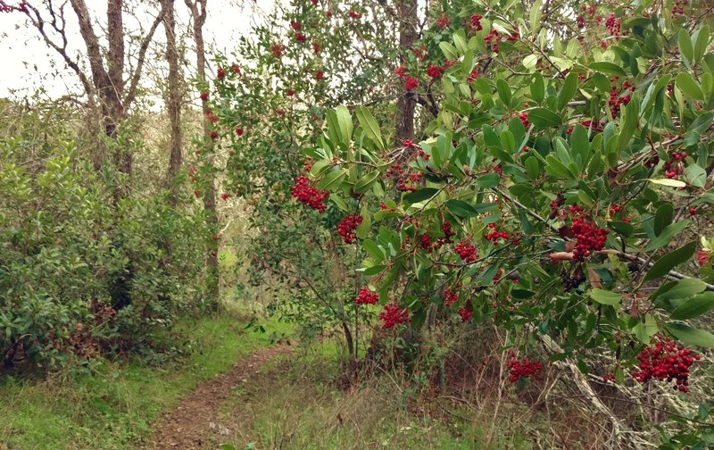 Manzanita with its bright red berries grows along the wooded singletrack section of Canada del Oro Trail.