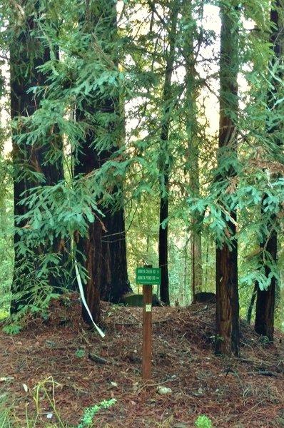 Redwood forest where Amaya Pond Road begins