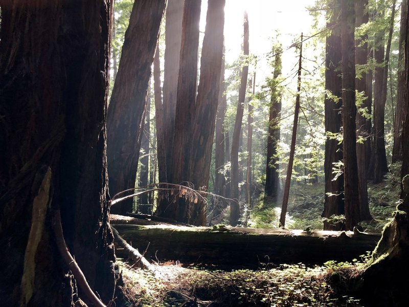 Morning light in the redwoods on Canyon Trail
