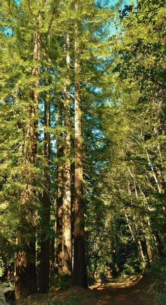 Sulphur Springs Road travels through the sunlit redwoods of Soquel Demonstration State Forest.