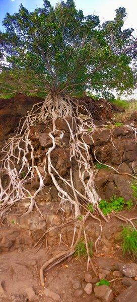 Tree of Genealogy.