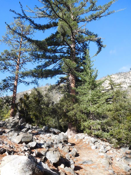 Sugar pine (center), Jeffrey pine (left), White Fir (right) and live oaks.