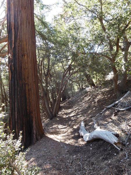 Incense cedar with canyon live oak.