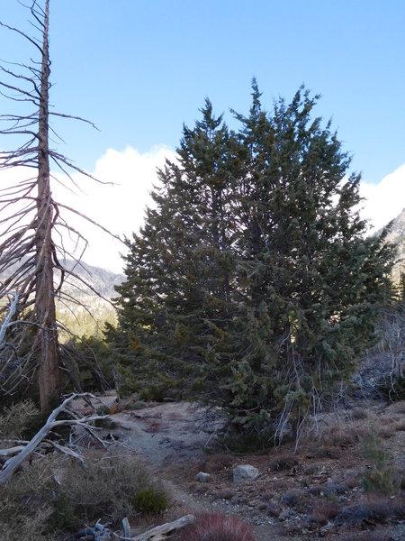 California juniper.