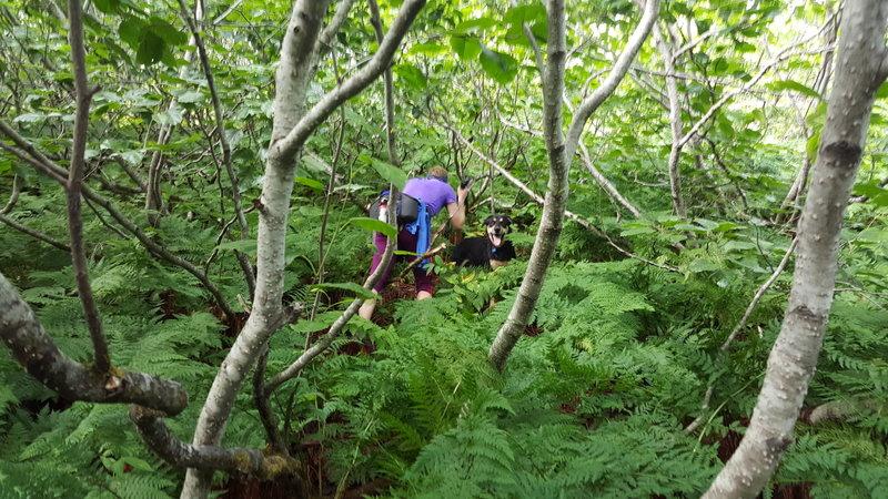 Bushwhacking through the alders.
