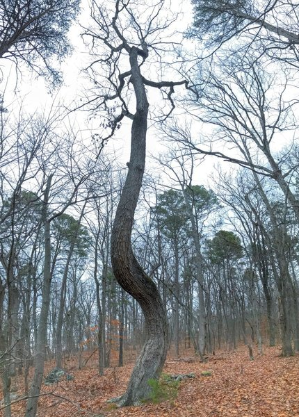 Twisted oak in winter