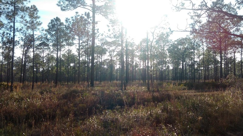 View of pine flatwoods