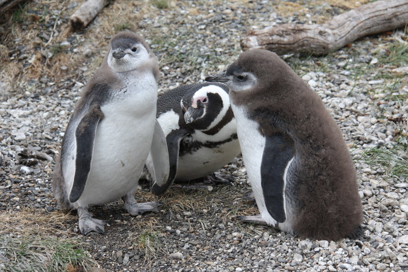 Magellanic Penguin with two baby Penguins