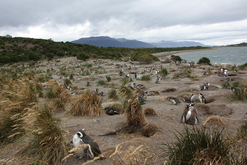 Magellanic Penguin Rookery