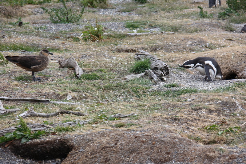 Magellanic Penguin protecting it's nest from a Great Skua.