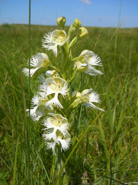The endangered western prairie fringed orchid