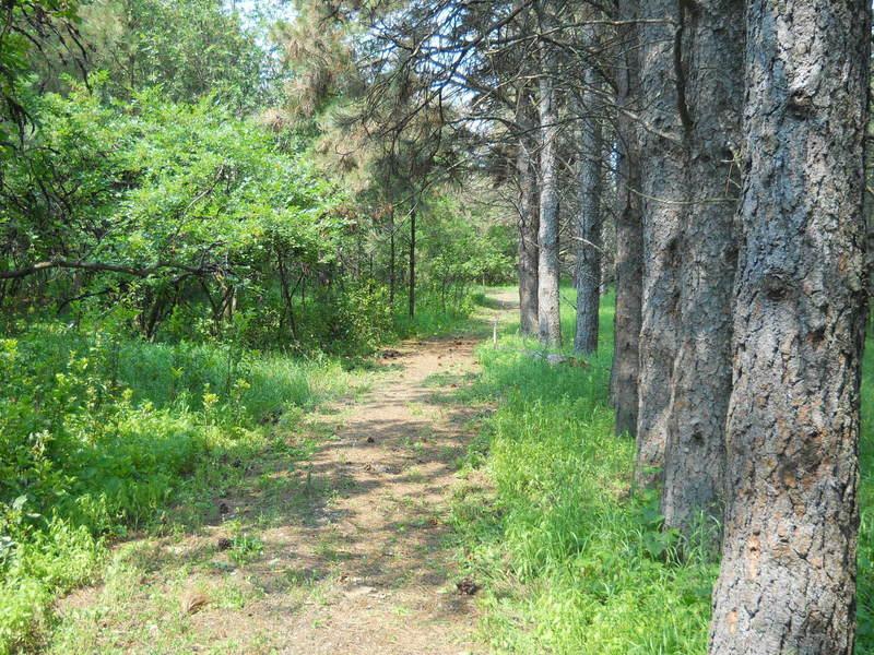 Hiking along planted Ponderosa Pines