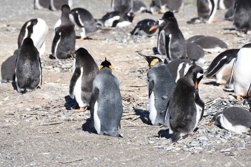 The only pair of King Penguins on the island