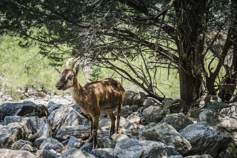 Look for the rare Kri-Kri goat in the Samaria Gorge