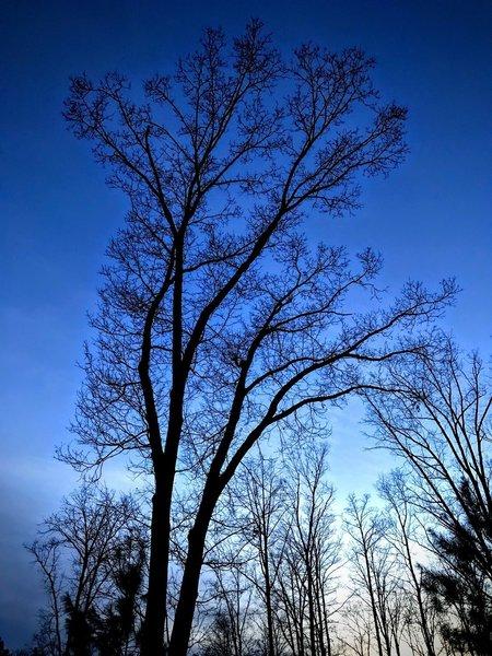 White Oak at Dusk