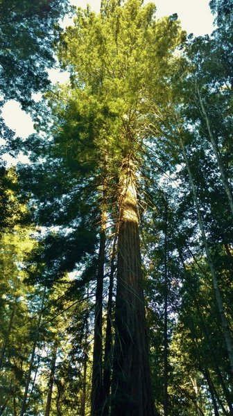 A giant old growth redwood along Tractor Trail