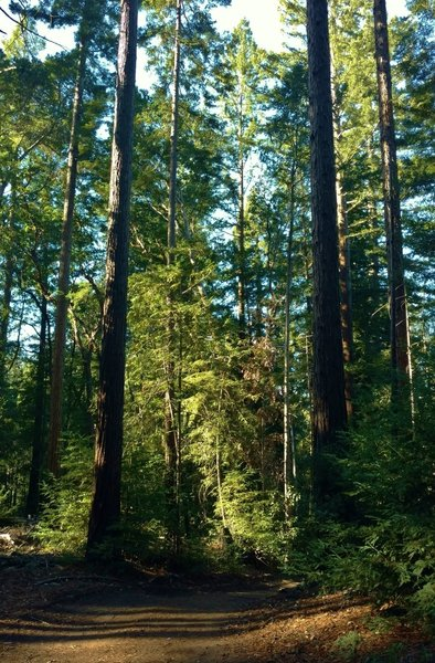 The redwood forest along Tractor Trail