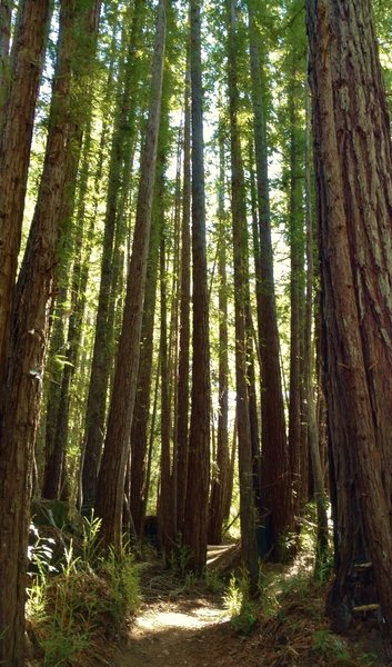 Braille Trail weaves its way through a dense cluster of tall, stately redwoods