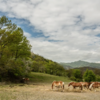 Horses in the free state in the Mugello mountains.