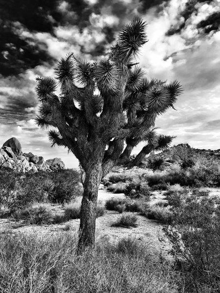A Joshua tree in all it's splendor.