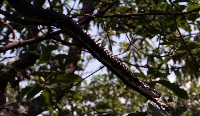 5 ft Rat Snake on a tree branch!