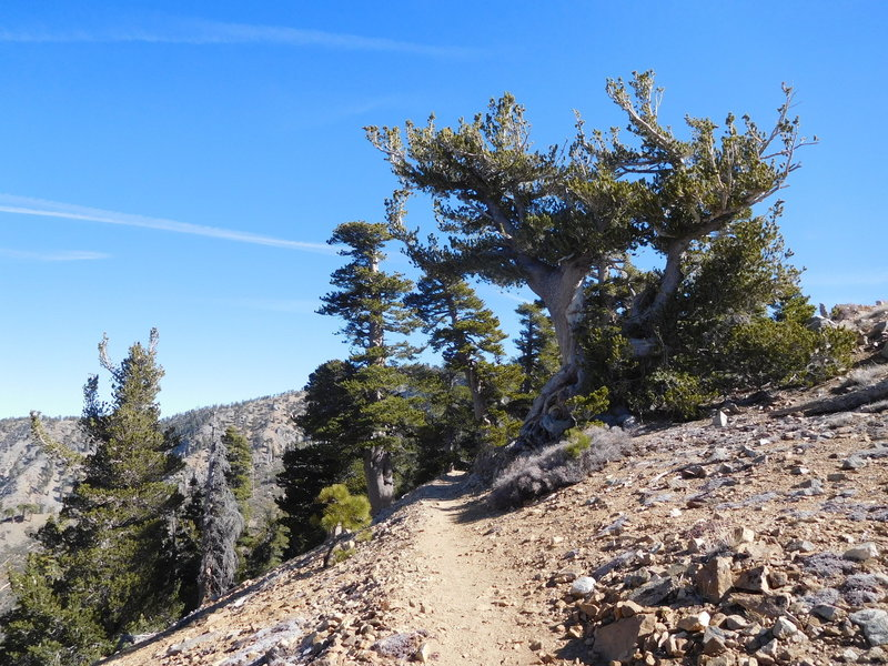 Ancient limber pine along Pacific Crest Trail