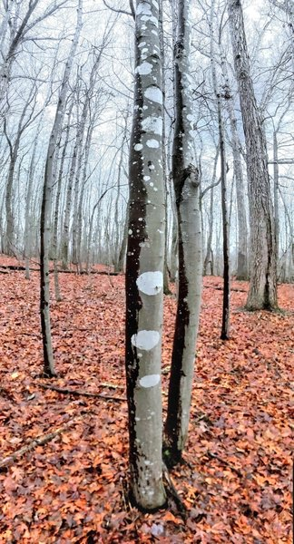 Bare maple trees on a wet, foggy day.